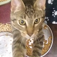 Adopt A Pet :: kitty perry - Muskegon, MI