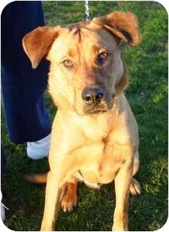 Labrador Retriever/Shepherd (Unknown Type) Mix Dog for adoption in Auburn, California - Gilbert