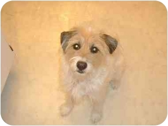 Jack Russell Terrier/Terrier (Unknown Type, Medium) Mix Dog for adoption in Powell, Ohio - Lady