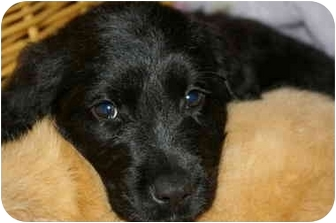 Retriever (Unknown Type)/English Setter Mix Puppy for adoption in Northville, Michigan - Milo