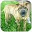 Photo 1 - Shar Pei Dog for adoption in all of, Connecticut - Zhouqi-purebred
