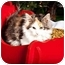 Photo 2 - Calico Kitten for adoption in Owensboro, Kentucky - Lacy