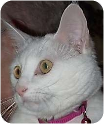 Domestic Shorthair Cat for adoption in Andover, Kansas - Pretty Girl