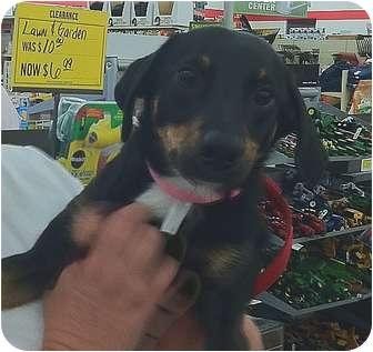 Dachshund Mix Dog for adoption in Londonderry, New Hampshire - Mandy
