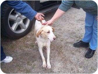 Coonhound (Unknown Type) Mix Dog for adoption in Henderson, North Carolina - Baby