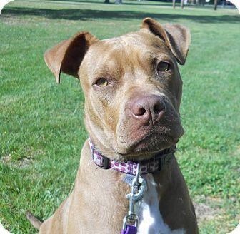 Boxer/Labrador Retriever Mix Dog for adoption in Vineland, New Jersey - Ruby