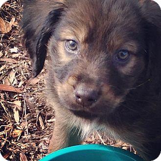 Australian Shepherd/Basset Hound Mix Puppy for adoption in Knoxville, Tennessee - Thorin