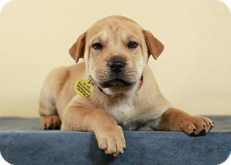 Shepherd (Unknown Type) Mix Puppy for adoption in Westminster, Colorado - Rasha