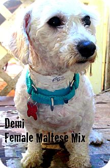 Maltese Mix Dog for adoption in Columbia Heights, Minnesota - Demi