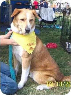 St. Bernard/Labrador Retriever Mix Dog for adoption in West Los Angeles, California - Tucker