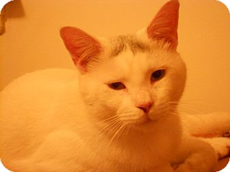 Domestic Shorthair Cat for adoption in Manchester, Connecticut - Snow