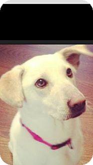 Labrador Retriever Mix Dog for adoption in Hatifeld, Pennsylvania - Blossom