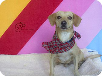 Beagle/Chihuahua Mix Dog for adoption in Edmonton, Alberta - Buster