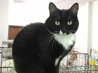 American Shorthair Cat for adoption in Pineville, North Carolina - Fergie