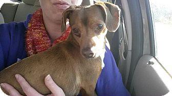 Dachshund Mix Dog for adoption in Astoria, New York - Frank