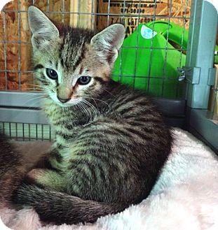 Domestic Shorthair Kitten for adoption in McCormick, South Carolina - Lovey