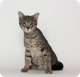 Domestic Shorthair Cat for adoption in Stockton, California - Orion