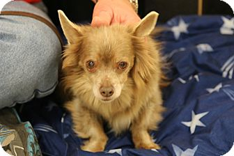 Pomeranian Mix Dog for adoption in Rochester, Minnesota - Jiggs