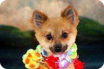 Pomeranian Dog for adoption in Dallas, Texas - Billy the Kid