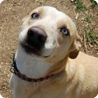 Adopt A Pet :: Blue - Stafford, VA