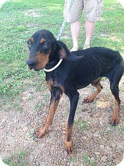 Black and Tan Coonhound Mix Dog for adoption in Union City, Tennessee - Lola