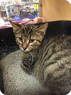 Domestic Shorthair Kitten for adoption in Rochester, Minnesota - Seven