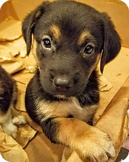 German Shepherd Dog/Collie Mix Puppy for adoption in Chicago, Illinois - Boris*ADOPTED!*
