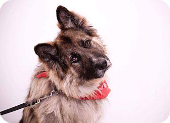 German Shepherd Dog Mix Dog for adoption in Ottawa, Ontario - Sergeant