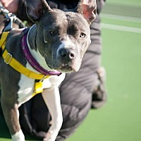 Staffordshire Bull Terrier/Pit Bull Terrier Mix Dog for adoption in Villa Park, Illinois - Nena