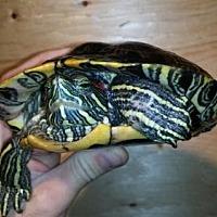 Adopt A Pet :: Nick - Pefferlaw, ON