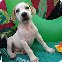 Adopt A Pet :: Orville - New Port Richey, FL