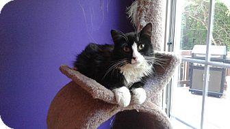 Norwegian Forest Cat Cat for adoption in Arlington, Virginia - Dewey-Gentle/Dog-like