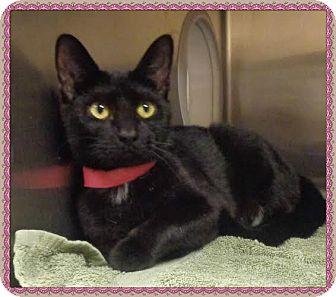 Domestic Shorthair Cat for adoption in Marietta, Georgia - MICHELLE