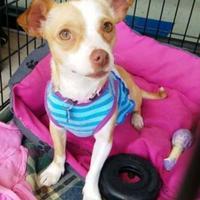 Adopt A Pet :: Jewel - justin, TX