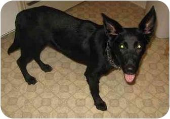 German Shepherd Dog Dog for adoption in Evansville, Indiana - Seth