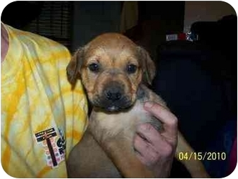 Retriever (Unknown Type) Mix Puppy for adoption in White Settlement, Texas - Pickles