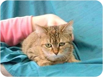 Domestic Shorthair Cat for adoption in Bay City, Michigan - Baby