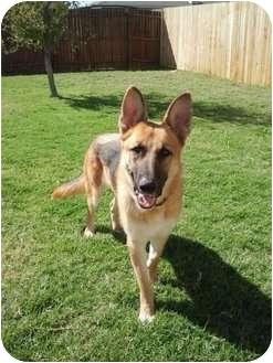 German Shepherd Dog Dog for adoption in Arlington, Texas - Perseus