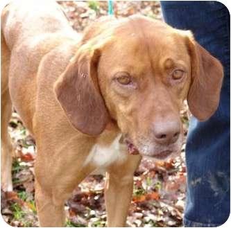Redbone Coonhound Mix Dog for adoption in Staunton, Virginia - Red