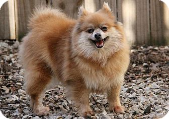 Pomeranian Dog for adoption in Kansas City, Missouri - Cindy