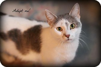 Domestic Shorthair Cat for adoption in mishawaka, Indiana - Muddy