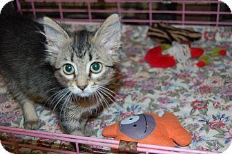 Domestic Shorthair Kitten for adoption in Bradenton, Florida - Percy