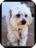 Maltese/Poodle (Miniature) Mix Dog for adoption in Ft. Bragg, California - Amber