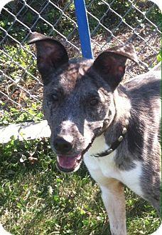 Australian Shepherd/Labrador Retriever Mix Dog for adoption in Minneapolis, Minnesota - Blue