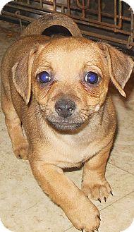 Chihuahua/Dachshund Mix Puppy for adoption in Richmond, Virginia - Dustin