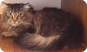 Maine Coon Cat for adoption in Palatine, Illinois - Moxy