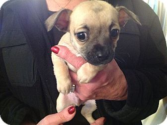 Chihuahua/Pug Mix Puppy for adoption in North Royalton, Ohio - Mac