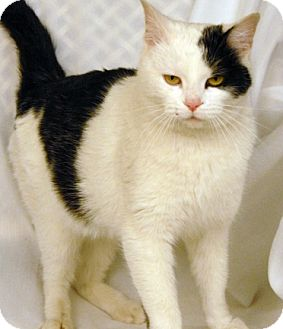 Domestic Shorthair Cat for adoption in Newland, North Carolina - Ghost