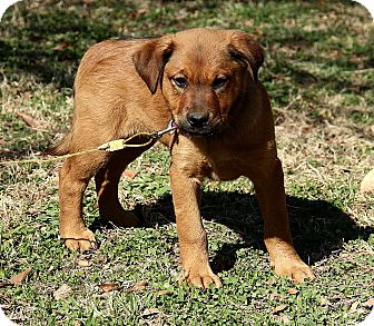 Golden Retriever Mix Puppy for adoption in Foster, Rhode Island - Kerra