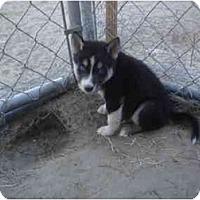 Adopt A Pet :: Miki - Jacksonville, NC